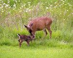 Deer_kiss061005_2