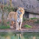 Tiger_67_13